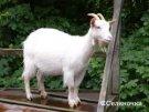 Казахстанская коза не угадала результат матча Италия - Германия
