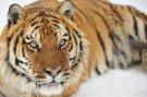Уголовная ответственность за убийство тигров