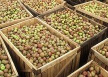 Итальянцы хотят выращивать в Ингушетии яблоки