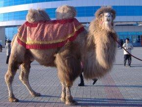 В Челябинской области олимпийский факел провезут на верблюде